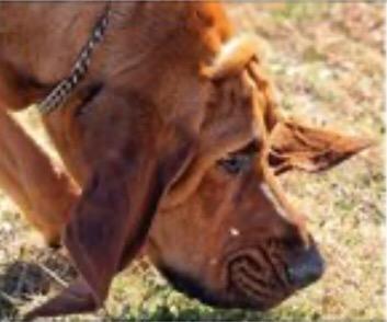 Bloodhound Bloodtrailing